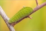 Segelfalter (Iphiclides podalirius) 09