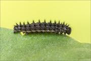Kleiner Perlmutterfalter Raupe (Issoria lathonia) 07
