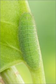 Brauner Feuerfalter Raupe (Lycaena tityrus) 08