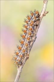 Roter Scheckenfalter Raupe (Melitaea didyma) 11