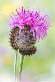 Raupe Flockenblumen Scheckenfalter (Melitaea phoebe) 07