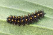 Westalpiner Scheckenfalter Raupe (Melitaea varia) 03