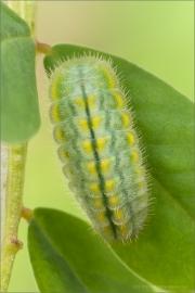 Zahnflügel-Bläuling Raupe (Polyommatus daphnis) 05