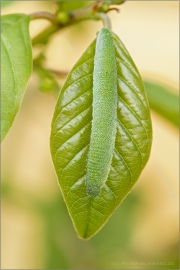 Zitronenfalter Raupe (Gonepteryx rhamni) 02