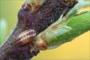 Kleiner Schlehenzipfelfalter Raupe (Satyrium acaciae) 04