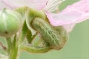 Grüner Zipfelfalter Raupe (Callophrys rubi) 06