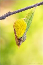 Zitronenfalter Puppe (Gonepteryx rhamni) 02
