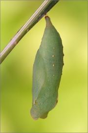 Braunauge Puppe (Lasiommata maera) 03