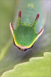 Erdbeerbaumfalter Raupe (Charaxes jasius) 02