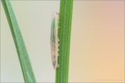 Rundaugen-Mohrenfalter Raupe (Erebia medusa) 08
