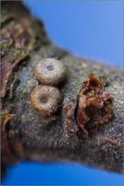 Eier - Pflaumen-Zipfelfalter 02 (Satyrium pruni)