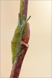 Junge überwinternde Raupe - Großer Schillerfalter 01 (Apatura iris)