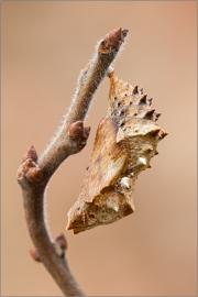 Puppe - Landkärtchen 01 (Araschnia levana) Frühlingsgeneration