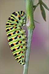 Raupe beim Verpuppen - Schwalbenschwanz 01 (Papilio machaon)