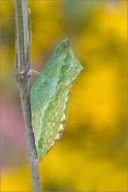 Gürtelpuppe - Schwalbenschwanz 01 (Papilio machaon)