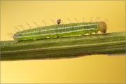 Gelbringfalter Raupe (Lopinga achine)