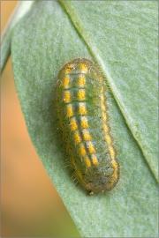 Silbergrüner Bläuling - Raupe (Polyommatus coridon)