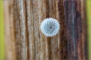 Zahnflügel-Bläuling Ei (Polyommatus daphnis) 01