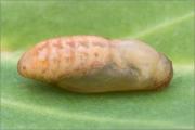 Puppe Wundklee-Bläuling (Polyommatus dorylas) 01