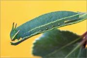 Erdbeerbaumfalter Raupe (Charaxes jasius) 06