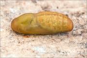 Silbergrüner Bläuling Puppe (Polyommatus coridon)