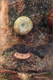 Schmetterlingsei Pflaumen-Zipfelfalter (Satyrium pruni) 03