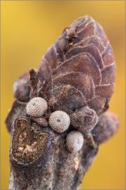 Schmetterlingseier Blauer Eichenzipfelfalter (Favonius quercus)