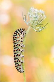 Schwalbenschwanz Raupe (Papilio machaon) 03