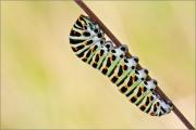 Raupe - Schwalbenschwanz 02 (Papilio machaon)