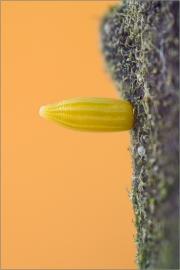 Zitronenfalter Ei 01 (Gonepteryx rhamni)