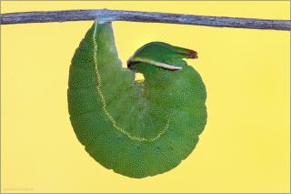 Erdbeerbaumfalter Pre-Puppe (Charaxes jasius) 03