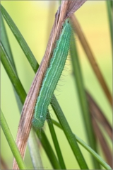 Mauerfuchs Raupe (Lasiommata megera) 03