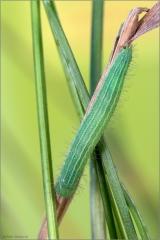 Mauerfuchs Raupe (Lasiommata megera) 01