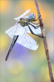 Frühe Heidelibelle (Sympetrum fonscolombii) 09