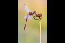 Frühe Heidelibelle 01 (Sympetrum fonscolombii)