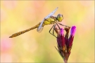 Gemeine Heidelibelle 01 (Sympetrum vulgatum)