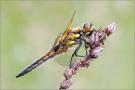 Vierfleck 02 (Libellula quadrimaculata)