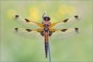 Vierfleck 03 (Libellula quadrimaculata)