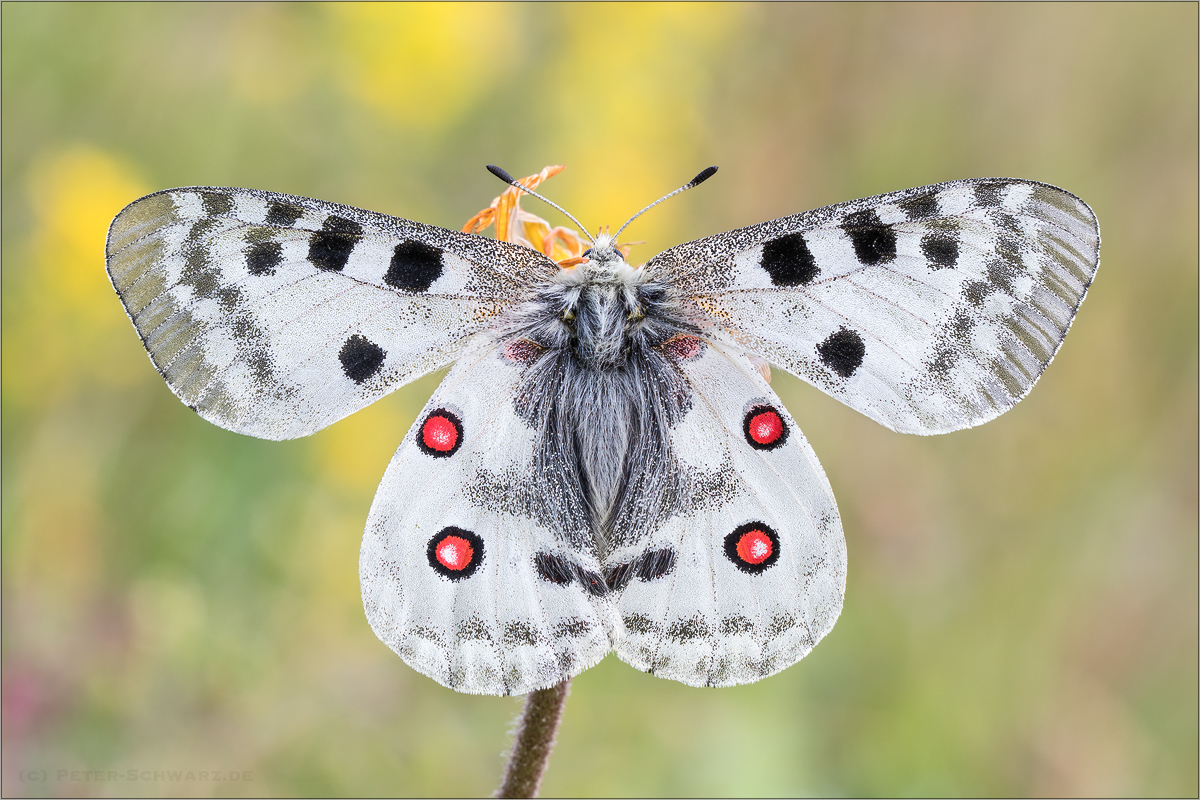 Roter Apollo (Parnassius apollo) 09