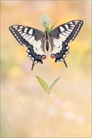 Schwalbenschwanz 19 (Papilio machaon)
