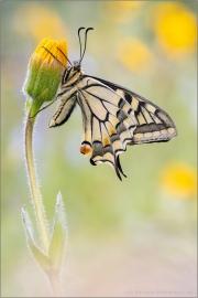 Schwalbenschwanz 20 (Papilio machaon)
