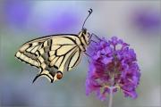 Schwalbenschwanz 04 (Papilio machaon)