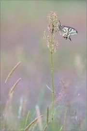 Schwalbenschwanz 10 (Papilio machaon)