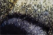 Segelfalter 02 (Iphiclides podalirius)