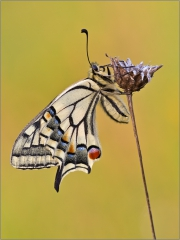 Schwalbenschwanz 08 (Papilio machaon)