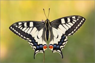 Schwalbenschwanz 07 (Papilio machaon)