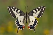 Schwalbenschwanz 06 (Papilio machaon)