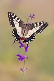 Schwalbenschwanz 03 (Papilio machaon)