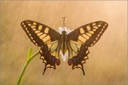 Schwalbenschwanz 13 (Papilio machaon)