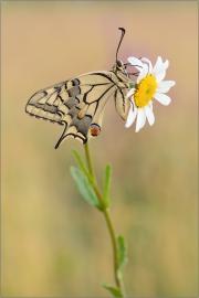 Schwalbenschwanz 11 (Papilio machaon)